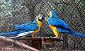 Ara glaucogularis macaw IGZoopark Visakhapatnam (5).JPG