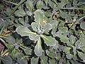 Arabis alpina subsp. caucasica 2017-09-28 5510.jpg