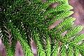 Araucaria araucana in Auckland Botanic Gardens 03.jpg