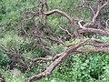 Arbol caido)Sierra de Guadalupe. - panoramio.jpg