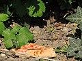 Arboretum Zürich - Hausmaus -fraglich- 2014-08-22 17-39-00 (P7800).JPG