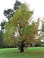 Arboretum de Bagnoles - Metasequoia glyptostroboides.jpg