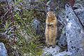 Arctic Ground Squirrel (2) - Spermophilus parryii (21491483961).jpg