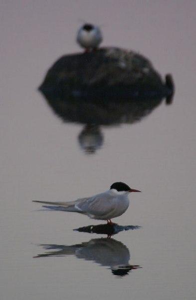 File:Arctic Tern (Sterna paradisea) at Uyeasound at dusk - geograph.org.uk - 811296.jpg