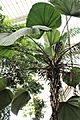 Arecales - Licuala grandis - 1.jpg