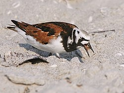 Arenaria interpres (feeding).jpg