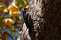 Arizona Woodpecker (male) Lower Huachuca Canyon Sierra Vista AZ 2018-11-10 12-56-01 (48204479381).jpg