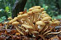 Armillaria mellea, Honey Fungus, UK.jpg