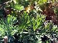 Artemisia alba ssp nevadensis leaf SierraNevada.jpg