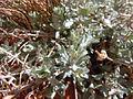 Artemisia bigelovii — Matt Lavin 019.jpg