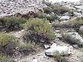 Artemisia rothrockii (7832385956).jpg
