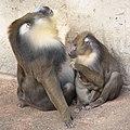 Artis Mandrill family - Artis Royal Zoo (10037436856).jpg