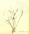 Asarum cavaleriei (Syn A. geophilum) Hector Léveillé 1918.png