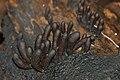 Ascomycetous Fungi (Xylaria sp.) (22676917353).jpg