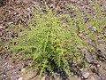 Asparagus stipularis Habitus 2010-8-15 SierraMadrona.jpg