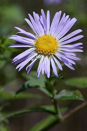 Nyengelsk Asters (Symphyotrichum novae-angliae).