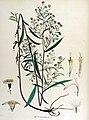 Aster salignus — Flora Batava — Volume v15.jpg