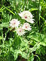 Astrantia major05.jpg