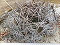 Astrophytum capricorne (5668817483).jpg