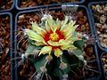 Astrophytum flowers 18.jpg