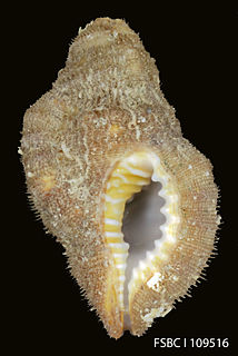 <i>Septa occidentalis</i> species of mollusc