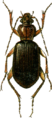 Atranus collaris Jacobson.png