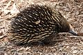 Austrālijas ezis.jpg