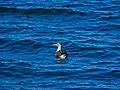 Australasian gannet Shorncliffe Pier Shorncliffe Bramble Bay Queensland P1010260.jpg