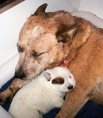 Australian Cattle Dog - Red hairs will grow through the puppy's white coat as it matures.