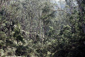 Flora of Australia - Eucalypt forests in Victoria. Australia's tree flora is dominated by a single genus, Eucalyptus, and related Myrtaceae.