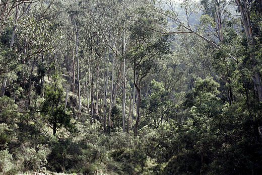 Eucalypt forests in Victoria. Australia's tree flora is dominated by a single genus, Eucalyptus, and related Myrtaceae. Australian bush02.jpg