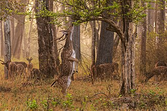 Browsing (herbivory) - Browsing chital