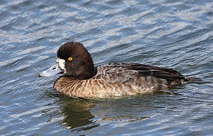English: Adult female Greater Scaup (Aythya ma...