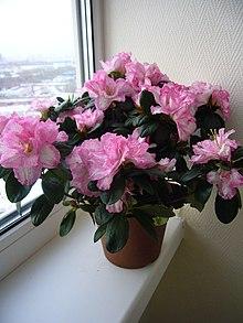 Planta De Interior Wikipedia La Enciclopedia Libre