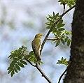 Bøksanger (Phylloscopus sibilatrix) Wood Warbler,.jpg