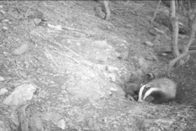 Файл:Badger family with 3 cubs in Bulgaria.webm