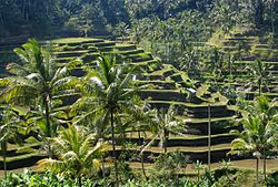 Arrozais na Ilha de Bali.