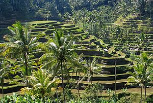 Balinese rice terraces is part of Subak irrigation system.