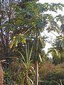 Ban Dongphayom Papaya Tree(January 3 2001).jpg