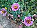 Bangala banthi flowers.jpg