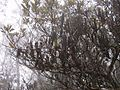 Banksiapaludosaleuraold1.jpg