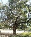 Banyan Tree Bangladesh.jpg
