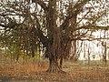 Banyan Tree Ficus benghalensis by Dr. Raju Kasambe DSCN9597 (3).jpg