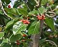 Banyan tree (Ficus benghalensis) leaf & ripe figs in Secunderabad, AP W IMG 6633.jpg