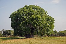 upright=Baobab seeds.jpg