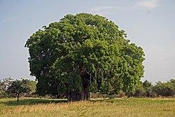 Baobab Adansonia digitata.jpg