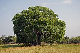 African Baobab (Adansonia digitata) tree in Bagamoyo, Tanzania, near the Kaole ruins