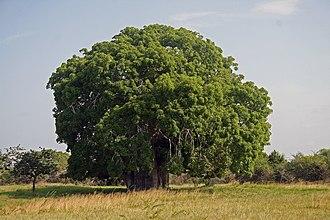 Adansonia - Adansonia digitata in Tanzania