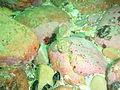 Barehead goby at Lorry Bay PB011929.JPG