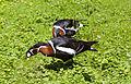 Barnacla cuellirroja (Branta ruficollis), Tierpark Hellabrunn, Múnich, Alemania, 2012-06-17, DD 01.JPG